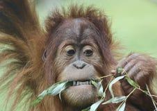 吃叶子的一只幼小猩猩的一张接近的画象 库存图片