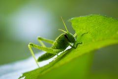 吃叶子的小蚂蚱 免版税库存图片
