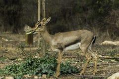 吃叶子的山瞪羚 免版税库存照片