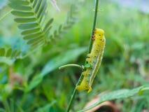 吃叶子的毛虫在庭院里 免版税库存图片