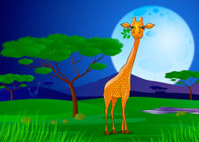 吃叶子的长颈鹿在非洲在日落 库存图片
