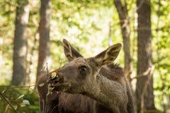 吃叶子的麋或欧洲麋驼鹿属驼鹿属幼小小牛在森林里 库存图片