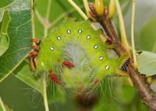 吃叶子-皇家飞蛾毛虫的五颜六色的毛虫 免版税库存照片