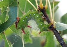 吃叶子-皇家飞蛾毛虫的五颜六色的毛虫 免版税库存图片