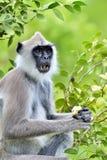 吃叶猴 装缨球灰色叶猴Semnopithecus priam、亦称马都拉斯灰色叶猴和Coromandel sacr特写镜头画象  免版税图库摄影