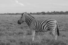吃和吃草在公园Etosha的灌木的一匹斑马 免版税库存图片