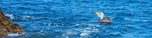 吃和吞下在一条新近地被抓的鱼下的鹈鹕临近Los卡约埃尔考斯/土地在Cabo圣卢卡斯巴哈墨西哥结束 库存图片