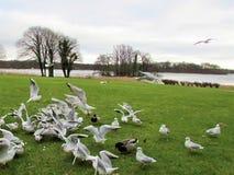 吃和飞行在湖和鸟飞行的海鸥 免版税库存照片