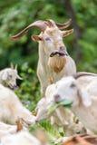 吃圆白菜叶子的白色山羊 图库摄影