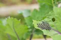 吃圆白菜的叶子的粉蝶蝴蝶的毛虫幼虫 免版税图库摄影