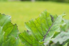 吃圆白菜的叶子的粉蝶蝴蝶的毛虫幼虫 免版税库存照片