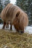吃在一个多雪的牧场地的舍德兰群岛马 免版税库存图片