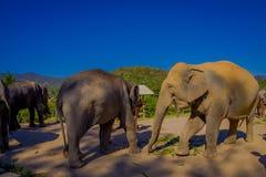 吃在一个密林圣所的惊人的室外观点的4头美丽的巨大的大象在清迈,在一个华美的晴天 免版税图库摄影
