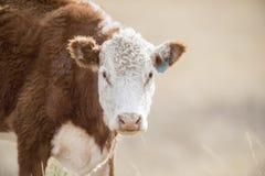 吃在一个开放范围的母牛自然草在科罗拉多 免版税图库摄影