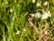 吃在一个白花宏指令的蝴蝶在春天有高d的 免版税库存照片