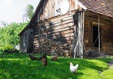 吃在一个禽畜围场的鸡 图库摄影