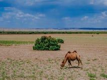 吃在一个贫瘠平原的骆驼草在敦煌,甘肃,中国附近 免版税库存照片