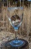吃在一个长的阻止的酒杯的一只野生家鼠种子 免版税库存照片