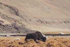吃在一个领域与山和自然背景的一头狂放的牦牛草在拉达克 库存照片