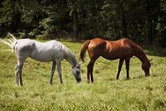 吃在一个绿色草甸的两匹良种马的图象 灰色和栗子纯血种马马 免版税库存图片