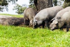 吃在一个绿色草甸的利比亚猪牧群 库存照片