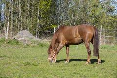 吃在一个绿色领域的一匹棕色马草在芬兰 免版税库存照片