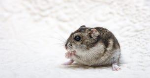 吃在一块砧板的矮小的仓鼠种子面包 免版税图库摄影