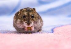 吃在一块砧板的矮小的仓鼠种子面包 库存图片