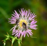 吃在一朵五颜六色的狂放的蓟花里面的甲虫花粉 库存图片