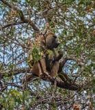 吃在一棵树的一个成年男性橄榄色的狒狒在塔兰吉雷国家公园坦桑尼亚 图库摄影