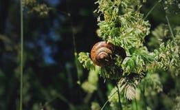 吃在一棵植物的蜗牛在森林里 免版税库存图片