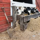 吃在低谷的小组母牛 免版税库存照片