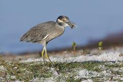 吃在佛罗里达海滩的黄色被加冠的夜鹭属一个螃蟹 库存照片