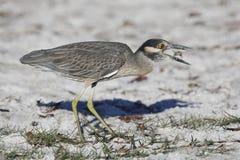 吃在佛罗里达海滩的黄色被加冠的夜鹭属一个螃蟹 免版税库存照片