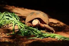 吃在光和阴影中的草龟旋花科 免版税图库摄影