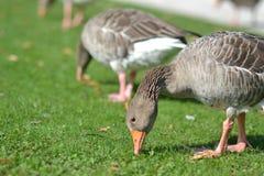 吃在公园的鸭子 免版税库存图片