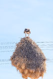 吃在共同鸟巢的军事老鹰牺牲者 免版税库存照片