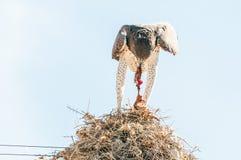 吃在共同鸟巢的军事老鹰牺牲者 免版税图库摄影