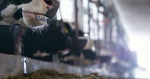 吃在农厂谷仓农业的母牛干草 奶牛在农业农厂槽枥 股票录像