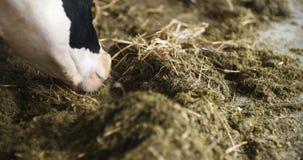 吃在农厂谷仓农业的母牛干草 奶牛在农业农厂谷仓 股票视频