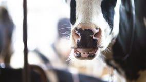 吃在农厂谷仓农业的母牛干草 奶牛在农业农厂谷仓 股票录像