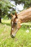 吃在农田,奥林匹亚, WA的美丽的马 免版税库存照片