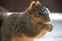 吃在冬天期间的灰鼠 免版税库存照片