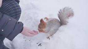 吃在冬天背景的灰鼠食物 股票录像