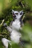 吃在分支中的狐猴一片叶子 免版税库存照片