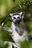 吃在分支中的狐猴一leef 免版税库存图片