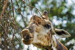 吃在动物园里的Girrafe 库存图片