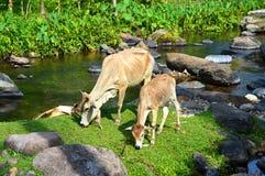 吃在回归线的母亲母牛和她的小牛草 库存照片