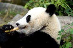 吃在地面上的一个大熊猫的画象 图库摄影