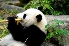 吃在地面上的一个大熊猫的画象 免版税库存照片